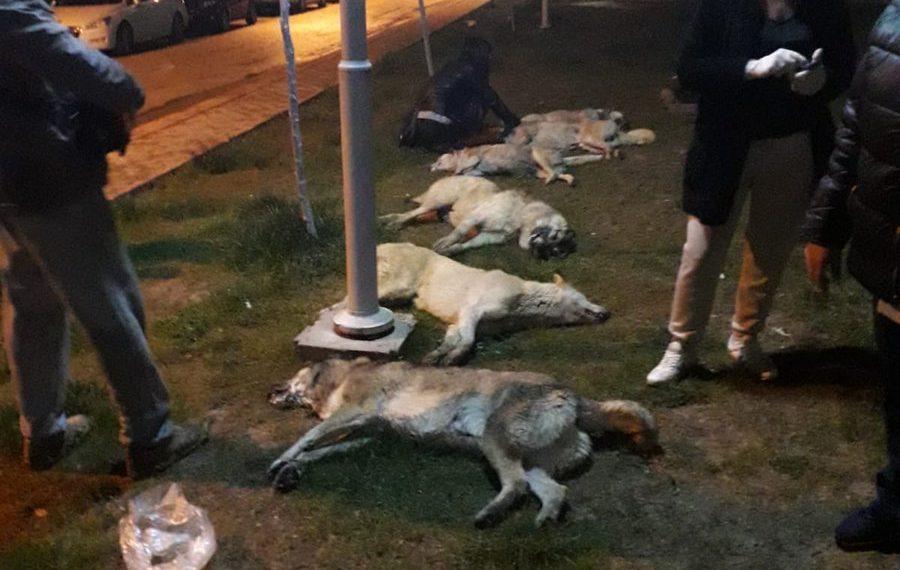 Türkiye bunu konuşuyor: 13 köpek zehirlenerek öldürüldü!